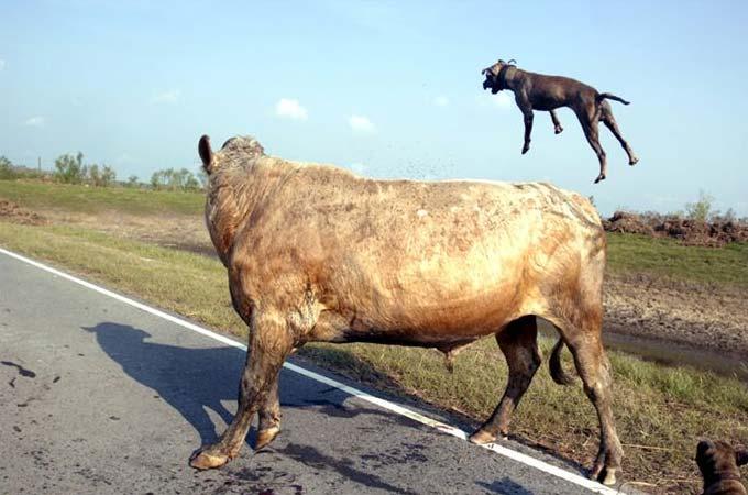 fotos de perros pitbull peleando: